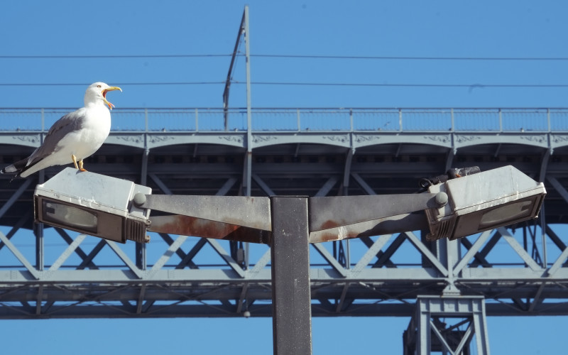 Porto Tipps – Möwe auf dem Ponte de Luis