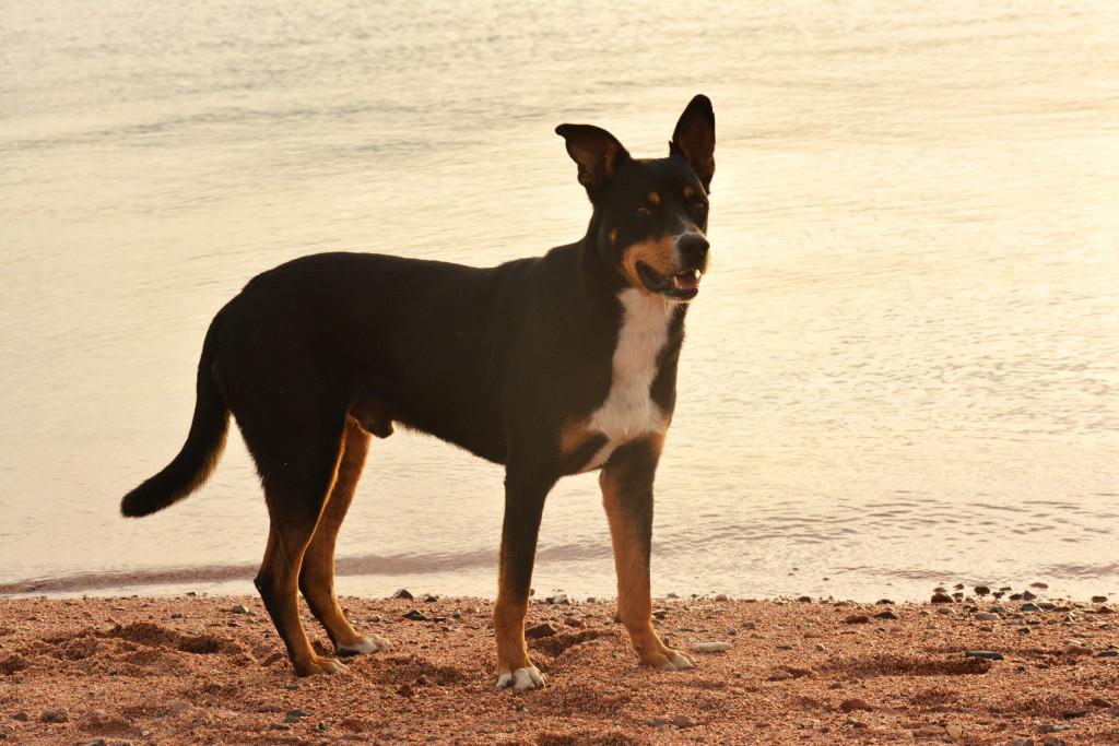Streunende Hunde in Dahab