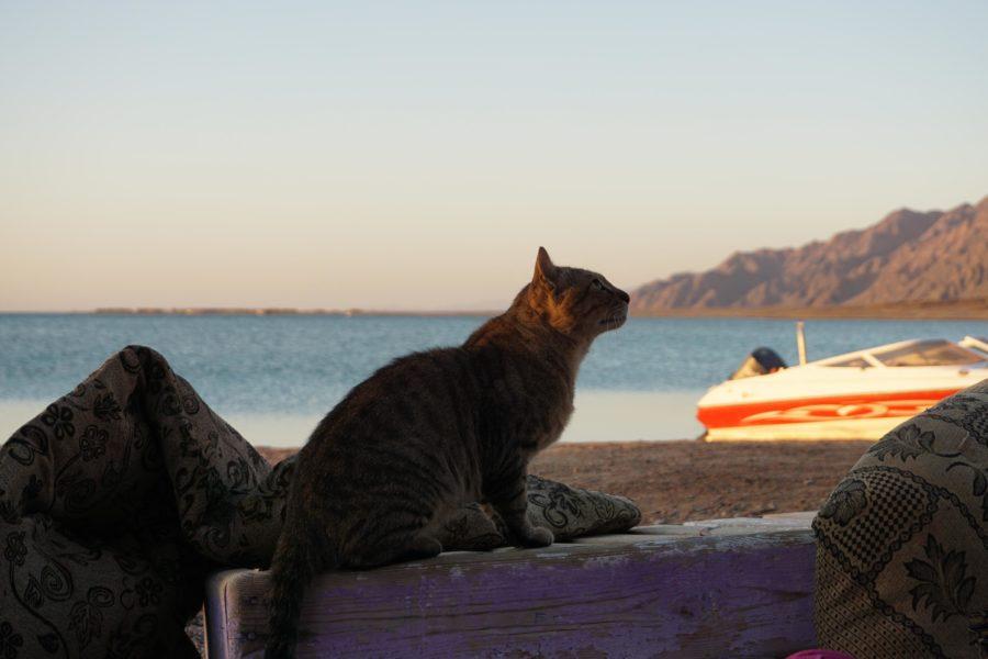 Blue-Lagoon-Dahab-Cats